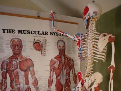 skelett studera muskler